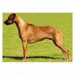 Inzara Golden Diesel (Neuter Champion)