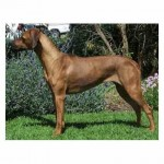 Inzara Destinys Child (Aust Champion)