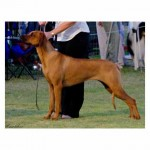 Inzara Golden Child (Aust Champion)