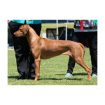 Almazart Caught Nthe Crossfire (AI) (Aust Champion FS.S)